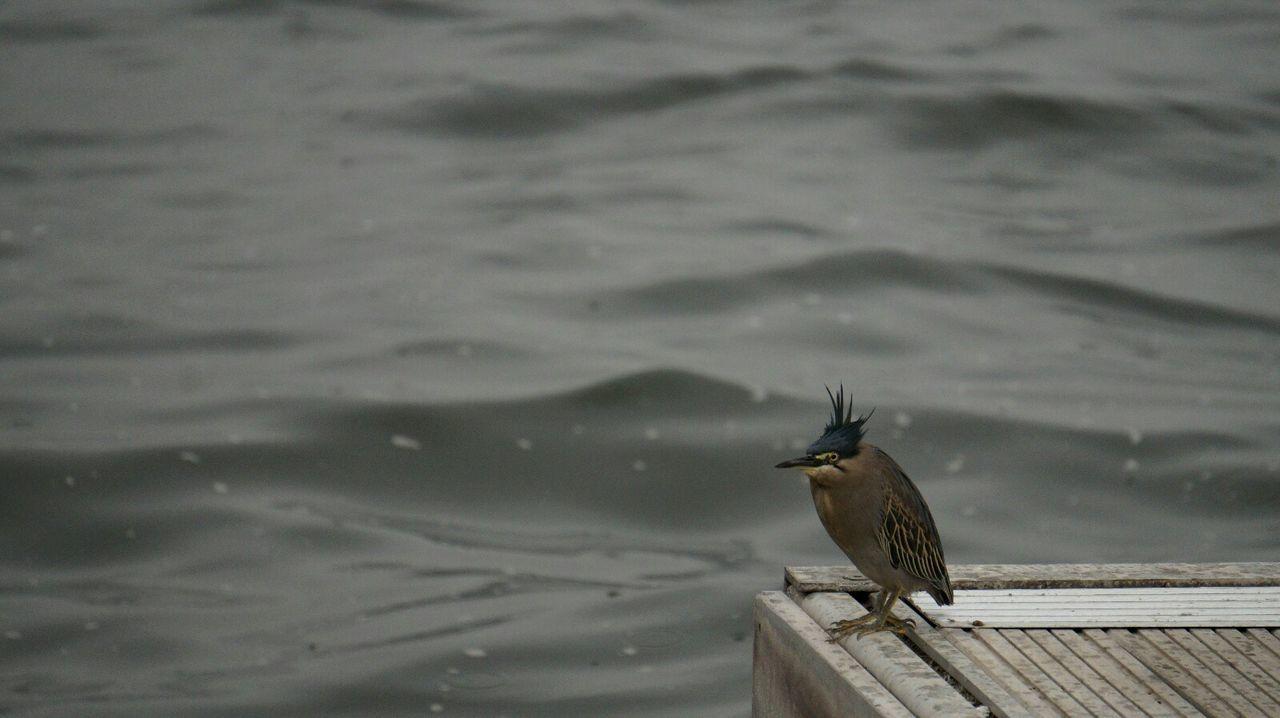 Bird Animal Wildlife No People Perching Nature Day TimepassPhotography Beauty In Nature Outdoors Kingfisher Notsurewhatitis