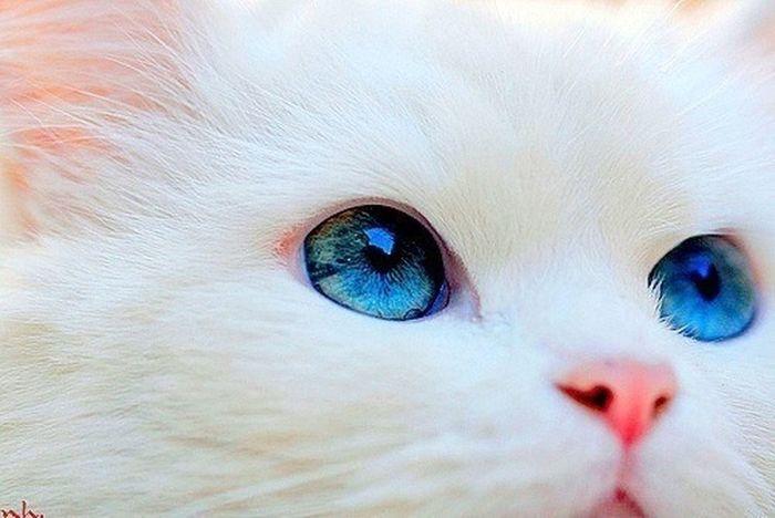 Cat Blue Eyes Likeforlike #likemyphoto #qlikemyphotos #like4like #likemypic #likeback #ilikeback #10likes #50likes #100likes #20likes #likere