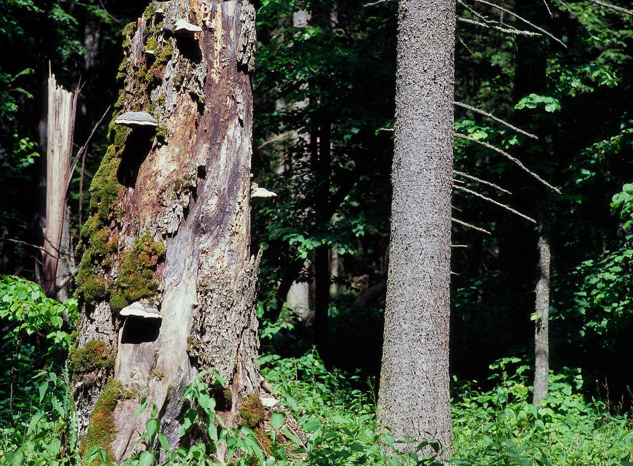 Bialowieza Bialowieza Forest Białowieska Białowieża Białowieża Forest Forest Nature Old Tree Outdoors Puszcza Bialowieska Tree Unesco Unesco World Heritage UNESCO World Heritage Site Wilderness