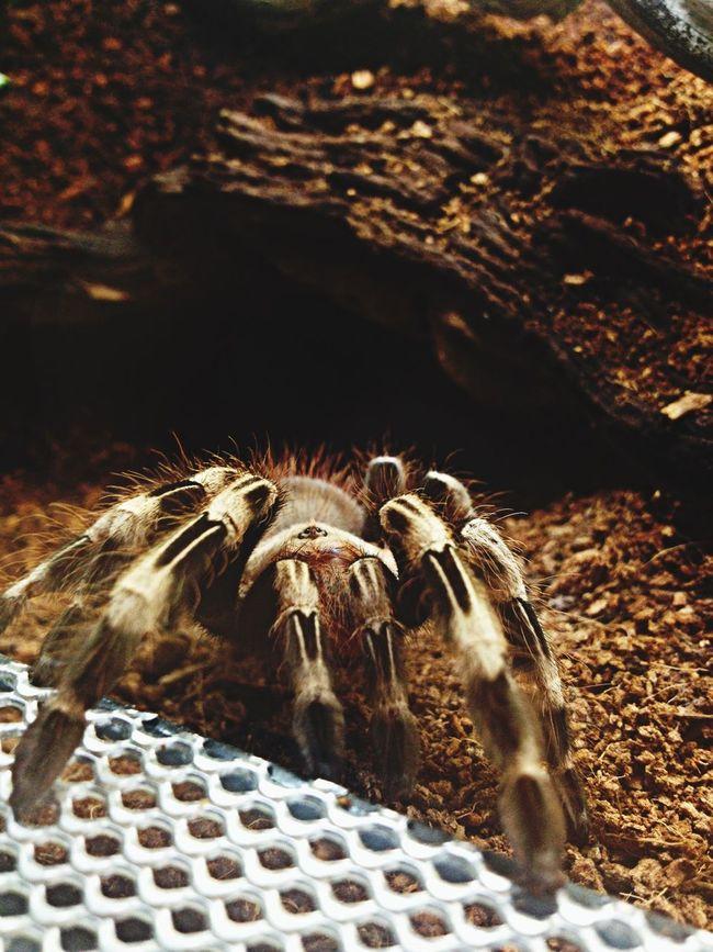 Nhandu Chormatus Tarantula Agressive Nature