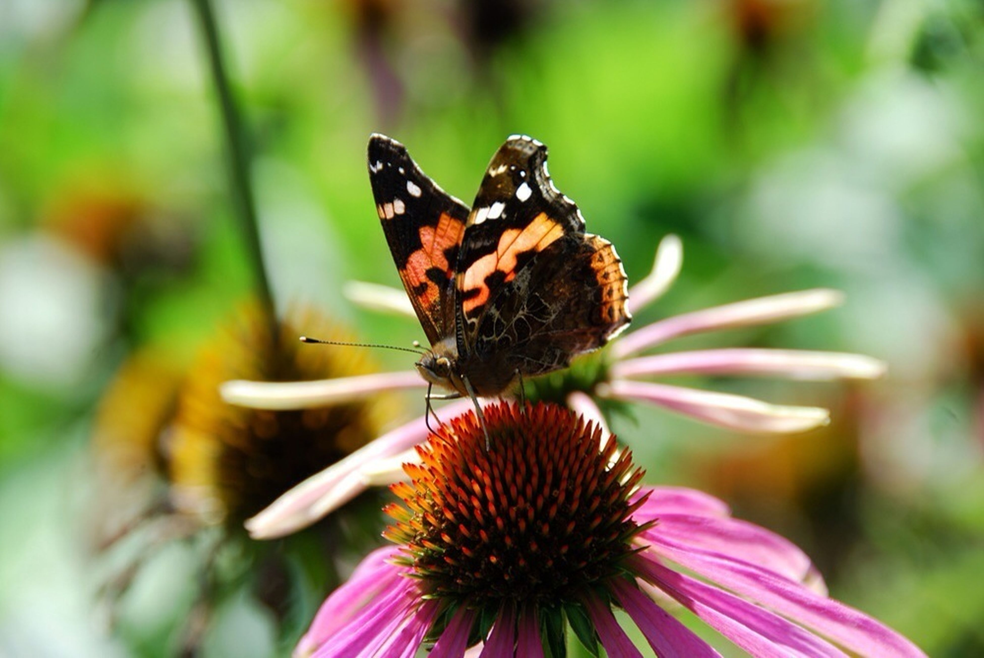 flower, one animal, animal themes, insect, petal, animals in the wild, pollination, freshness, fragility, flower head, wildlife, close-up, focus on foreground, beauty in nature, butterfly - insect, growth, nature, butterfly, symbiotic relationship, pollen