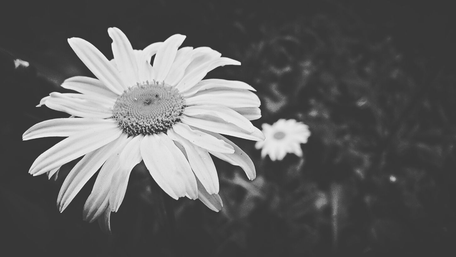 Flowers Dasiy California Black And White