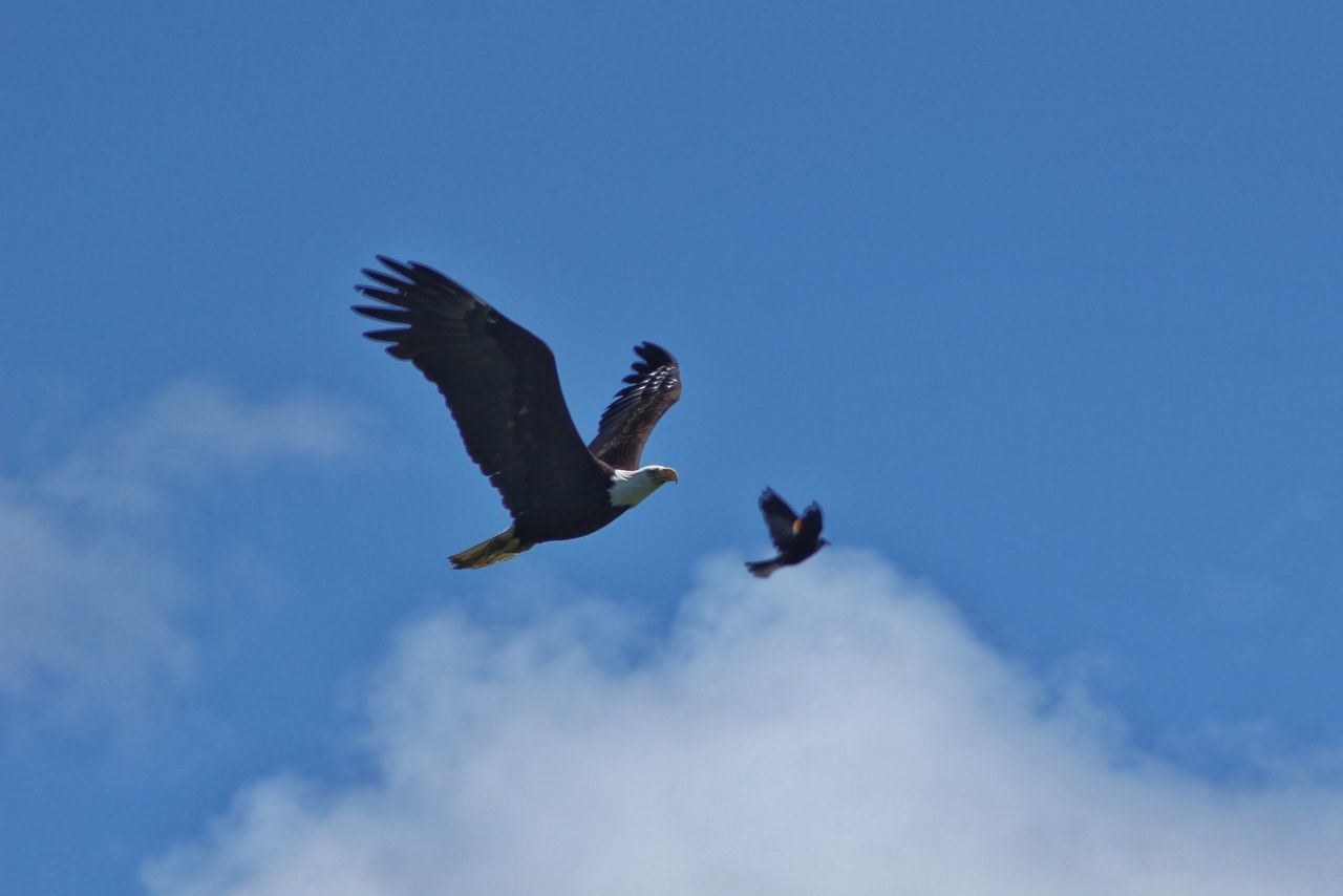 Low Angle View Of Birds Flying At Blue Sky