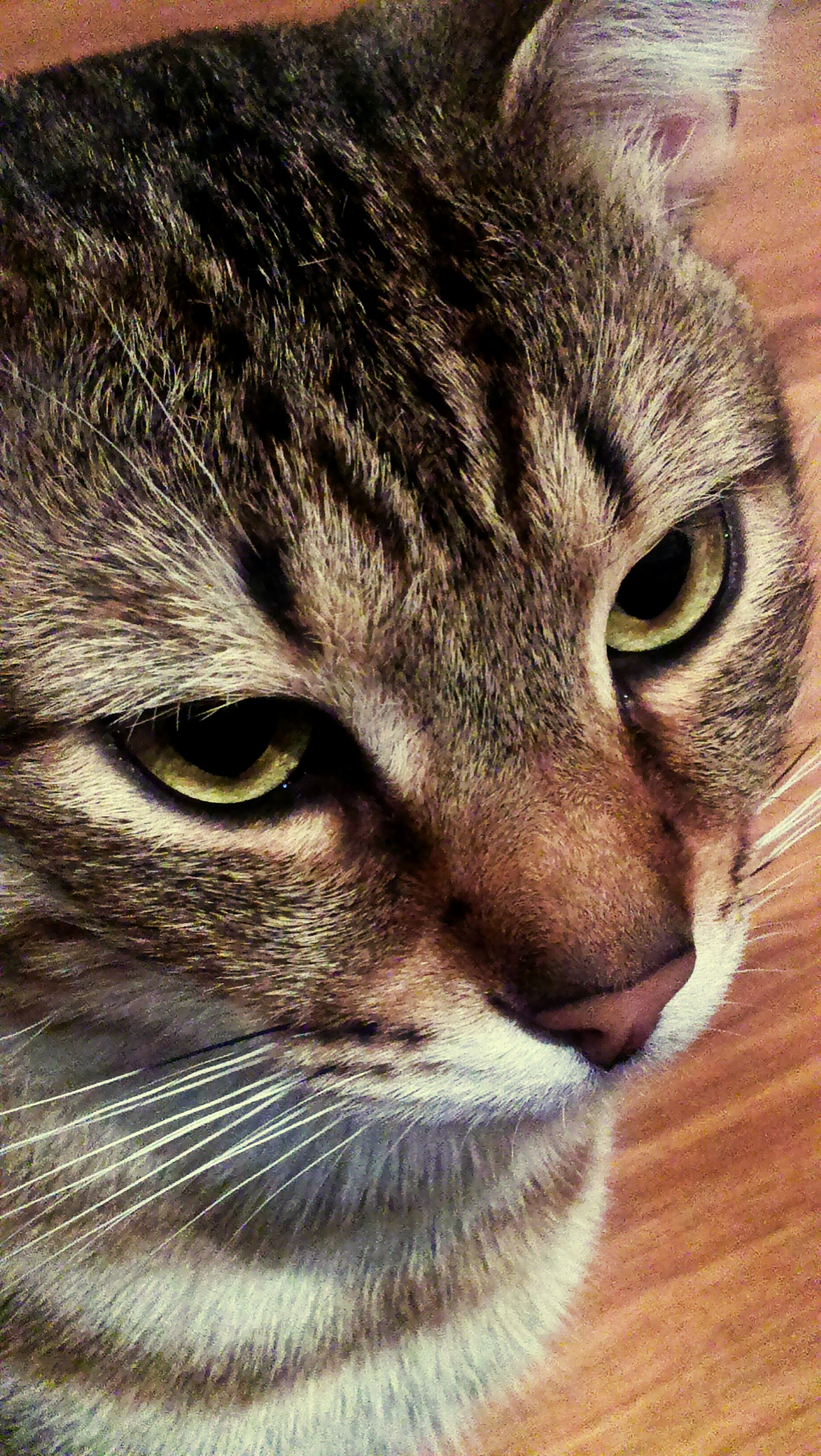 animal themes, one animal, animal head, domestic animals, animal body part, mammal, close-up, pets, indoors, animal eye, portrait, whisker, domestic cat, looking at camera, cat, feline, part of, snout, full frame, no people