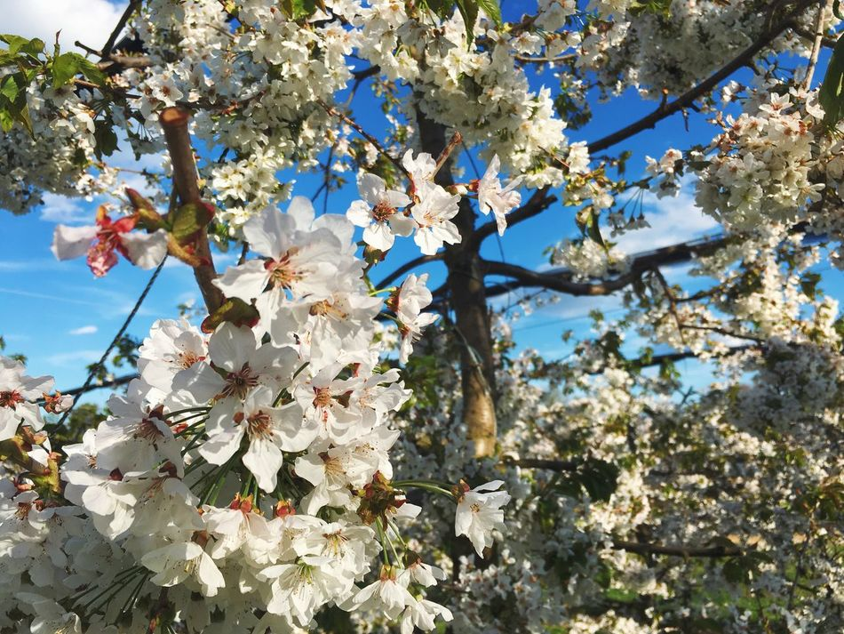 Cherry blossom springtime heaven Tree Growth White Color Branch Nature Flower Beauty In Nature Springtime Blossom No People Fragility Twig Low Angle View Outdoors Day Close-up Freshness Flower Head Sky Colors Eye4photography  Showcase April