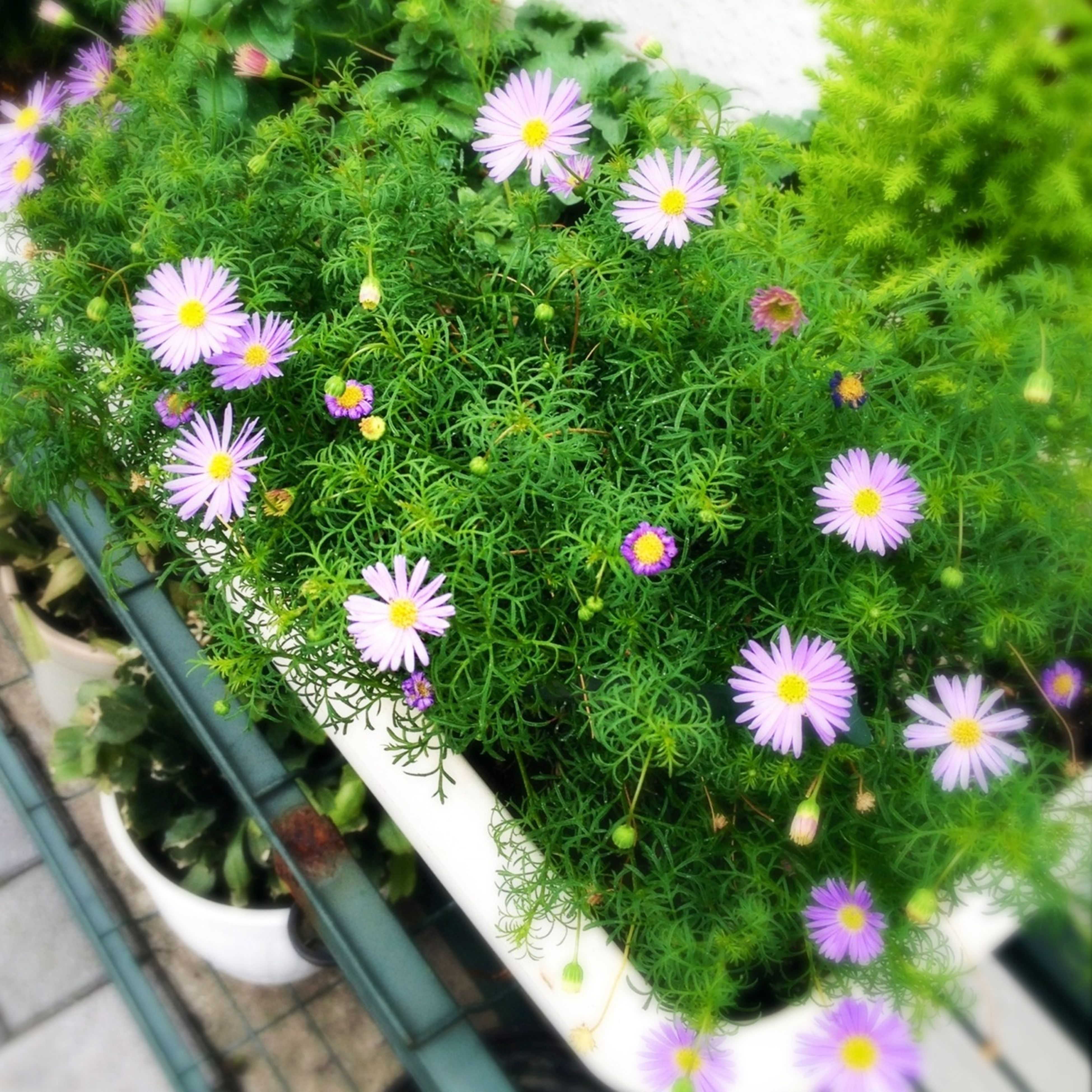 flower, freshness, growth, fragility, petal, plant, beauty in nature, flower head, blooming, nature, high angle view, in bloom, green color, leaf, pink color, daisy, botany, stem, day, blossom