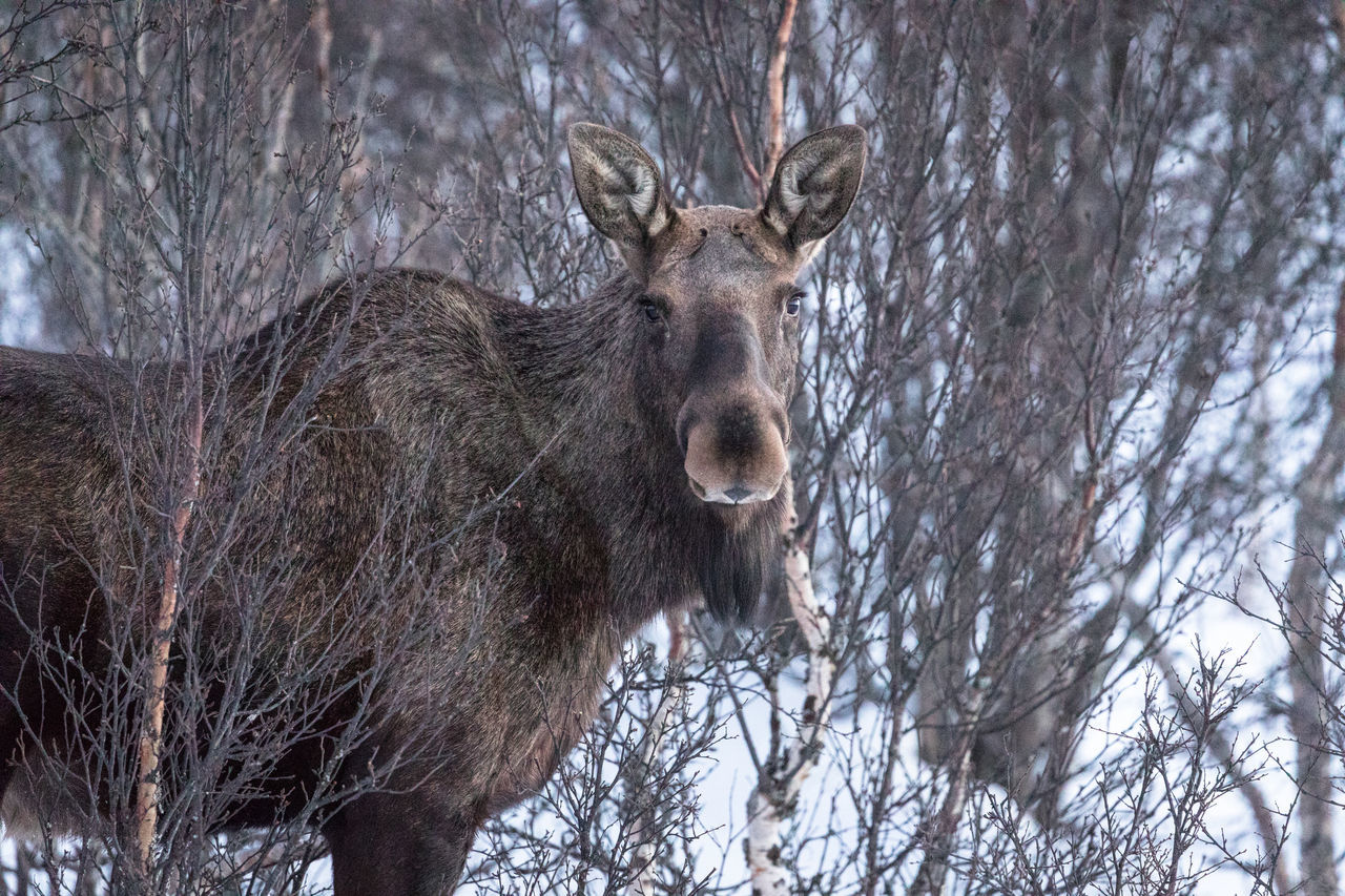 Animal Themes Animal Wildlife Animals In The Wild Bare Tree Beauty In Nature Branch Day Elk Forest Looking At Camera Low Angle View Mammal Moose Nature No People Northern Norway Norway One Animal Outdoors Portrait Snow Standing Tree Vesterålen Winter The Great Outdoors - 2017 EyeEm Awards