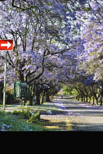 Jacarandas Tree Nature Growth Outdoors Tranquility Grass Sky Day Beauty In Nature No People Pretoria, South Africa Road Signs Jacaranda Trees Shadow Dusk Business Finance And Industry Tree Flower Purple Flower People In Suburb Road Sign People In The Distance Early Morning Sunlight