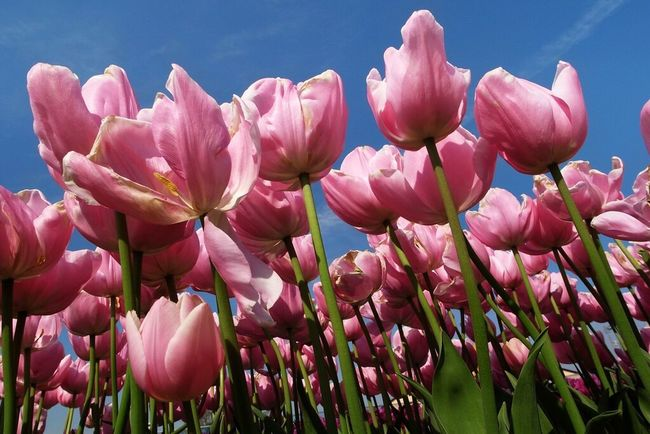 Ricoh GRD III Flowers Tulips