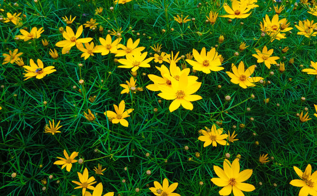Backyard flower Beauty In Nature Blooming Blossom Botany Close-up Day Field Flower Flower Head Focus On Foreground Fragility Freshness Grass Grassy Green Color Growth In Bloom Nature No People Outdoors Petal Plant Tabphotography Tranquility Yellow