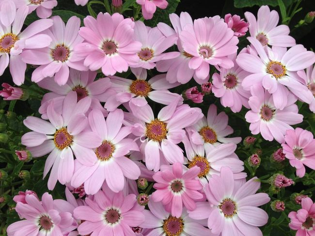 Cineraria flowers Abundance Beauty In Nature Blooming Botany Cineraria Flower Flower Head Fragility Freshness Growth In Bloom Nature No People Outdoors Petal Pink Color Plant