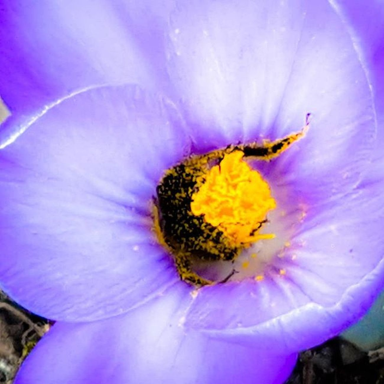 Bumble at Work Bumblebee Honey Bee Pollen Pollenator Crocus Purple Yellow Flowers Nature Birdsandbees Beeatwork Macrolife Tv Tv_nature Purplecrayon HDR OnlyinMN Mn Exploretheoutdoors