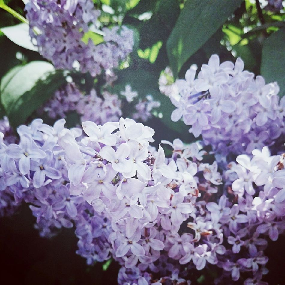 Lilac Oooohhh That Smell gorgeous