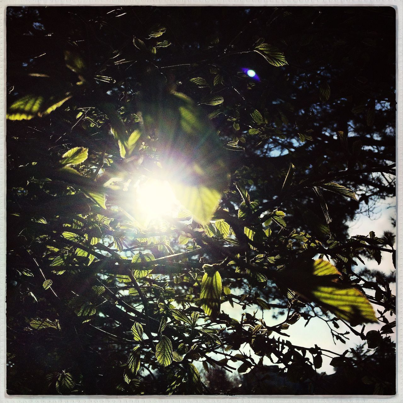 Sun Growth Leaf Nature Sunlight Sunbeam Back Lit Beauty In Nature Plant Low Angle View Tree Leaves No People Branch Outdoors Freshness Close-up Day