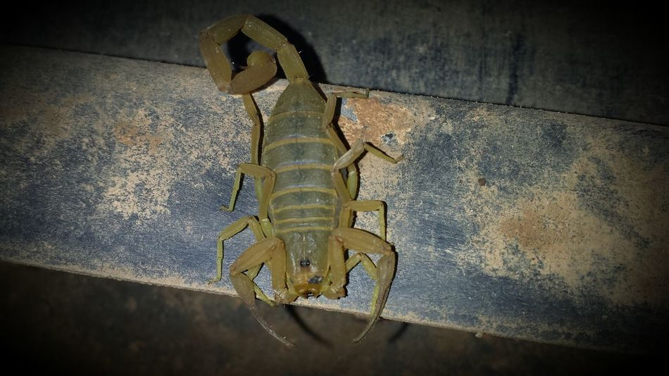 Beautiful stock photos of scorpion, Animal Themes, Animals In The Wild, Close-Up, Day