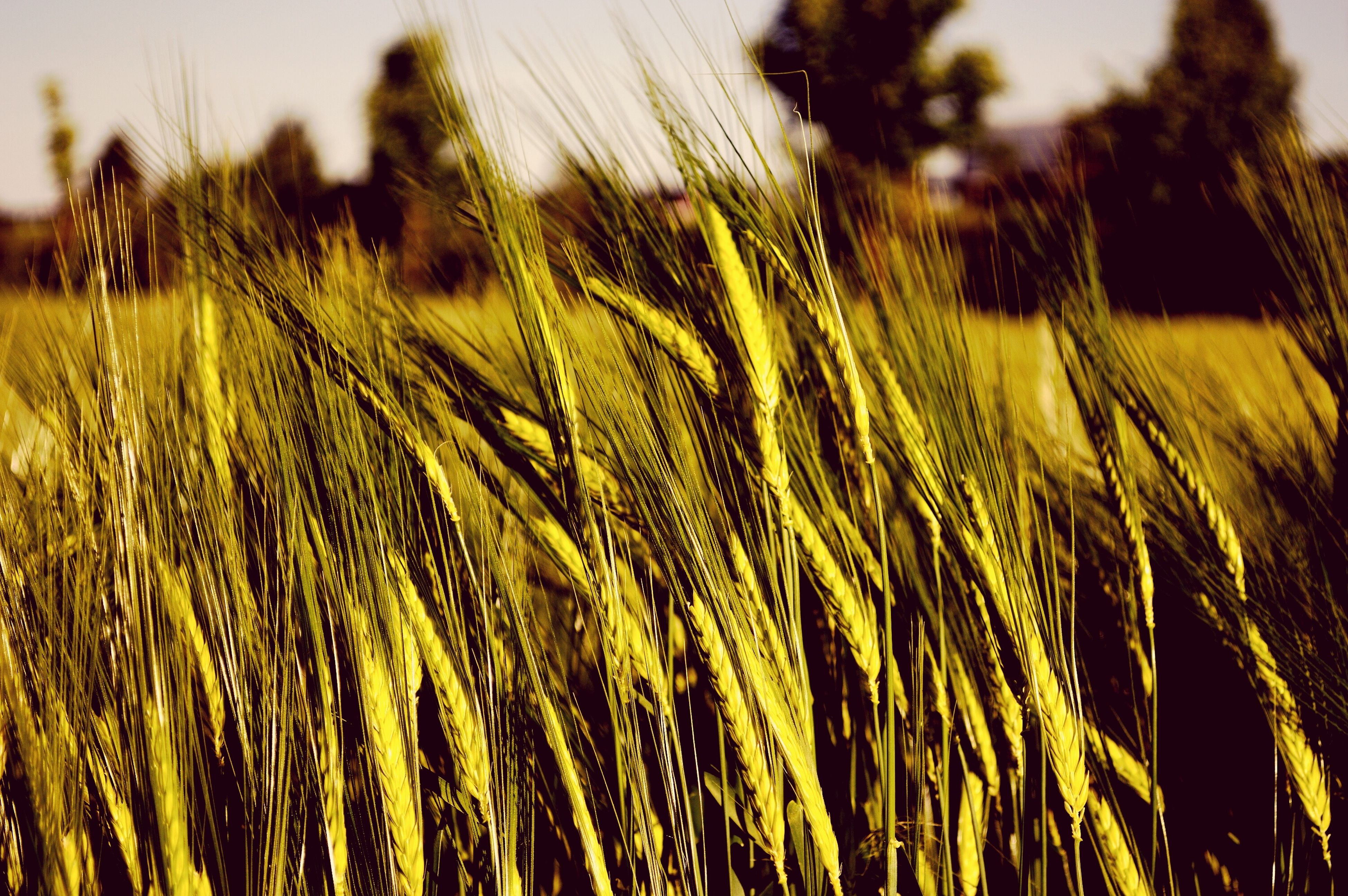 growth, field, plant, agriculture, nature, crop, farm, rural scene, close-up, tranquility, green color, focus on foreground, beauty in nature, growing, grass, cereal plant, outdoors, day, no people, freshness