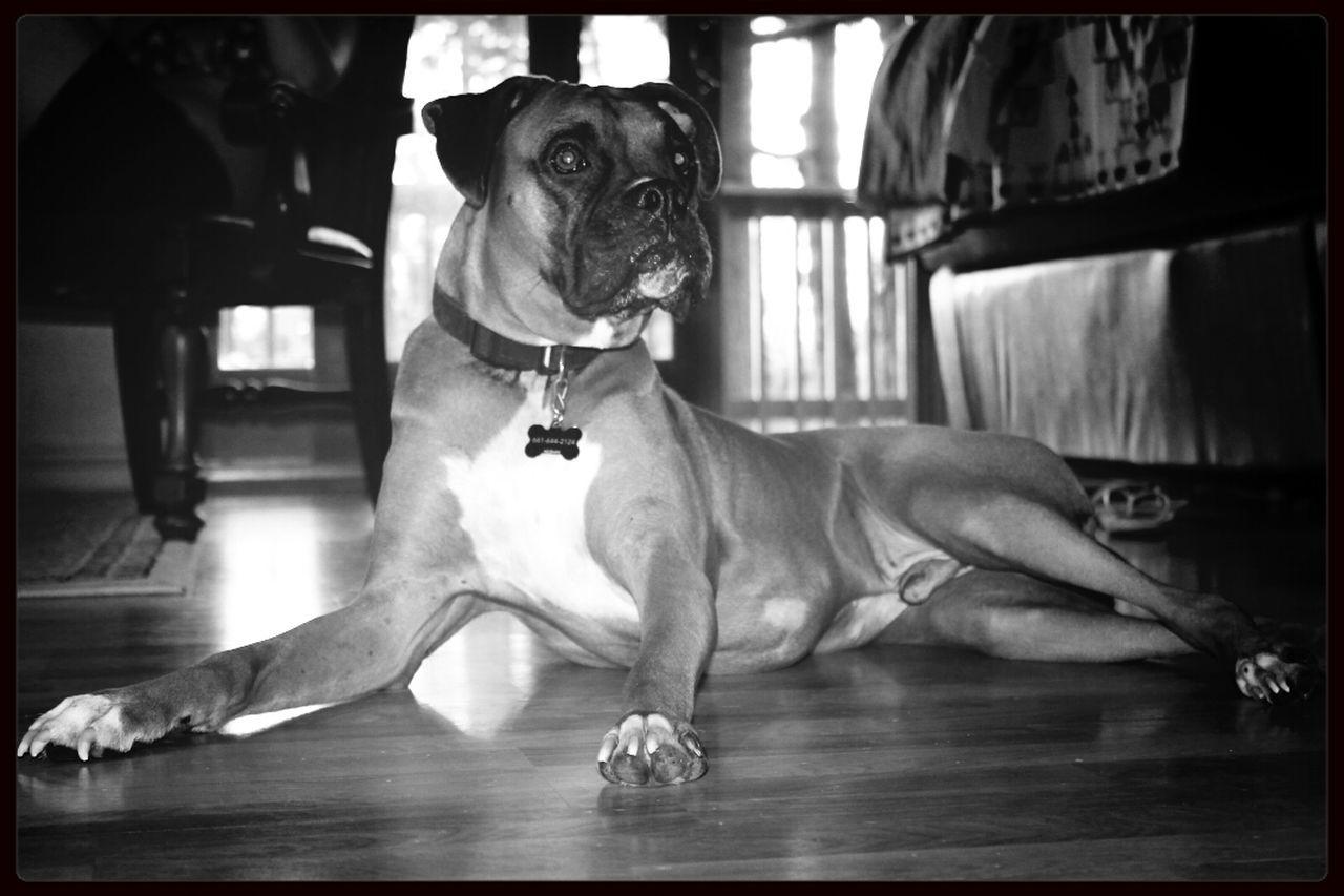 Boxer Dog Dog Pet Photography  Boxers