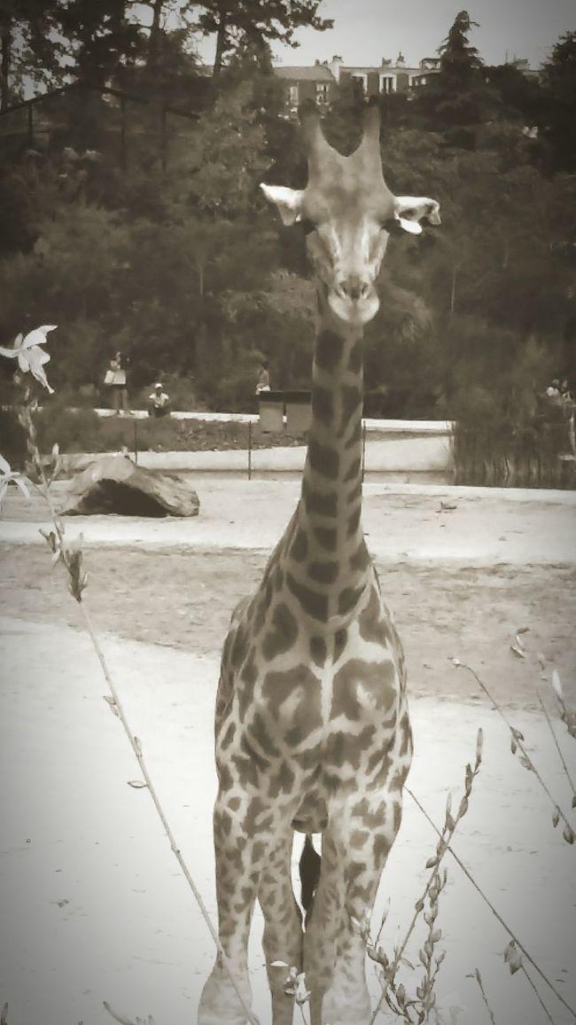 Giraffe♥ Giraffe Eyem Nature Eyem Gallery Eyem Best Shots Zoophotography Zoo Animals  Animal Photography Animal Themes Animal Giraffe Portrait Giraffe Life Blackandwhite Photography Black And White Black And White Collection  Black And White Portrait Vincennes Zoo Animals