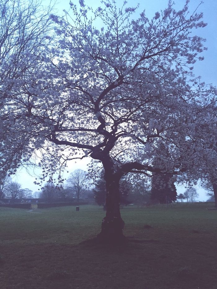 Tree Tranquility Nature No People Outdoors Branch Beauty In Nature Lone Blossom Fog Chesham United Kingdom