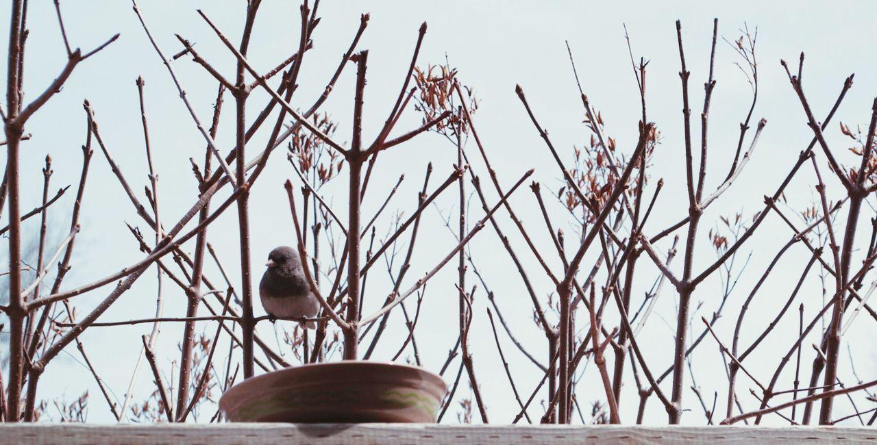 Bird Watching Perching Bird On Branch Birding Dark Eyed Junco Juncos