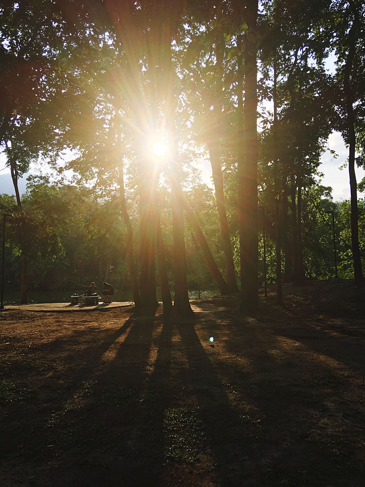 Tree Nature Sunlight Sunbeam Tranquility Forest Beauty In Nature Outdoors Tranquil Scene Scenics Growth Day Sun Shadow No People Sunset Sky