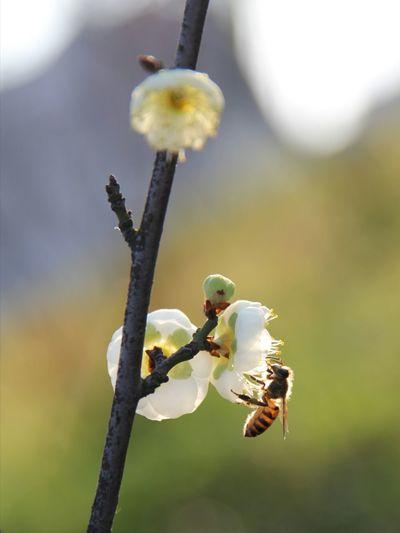 Wintersweets Bees