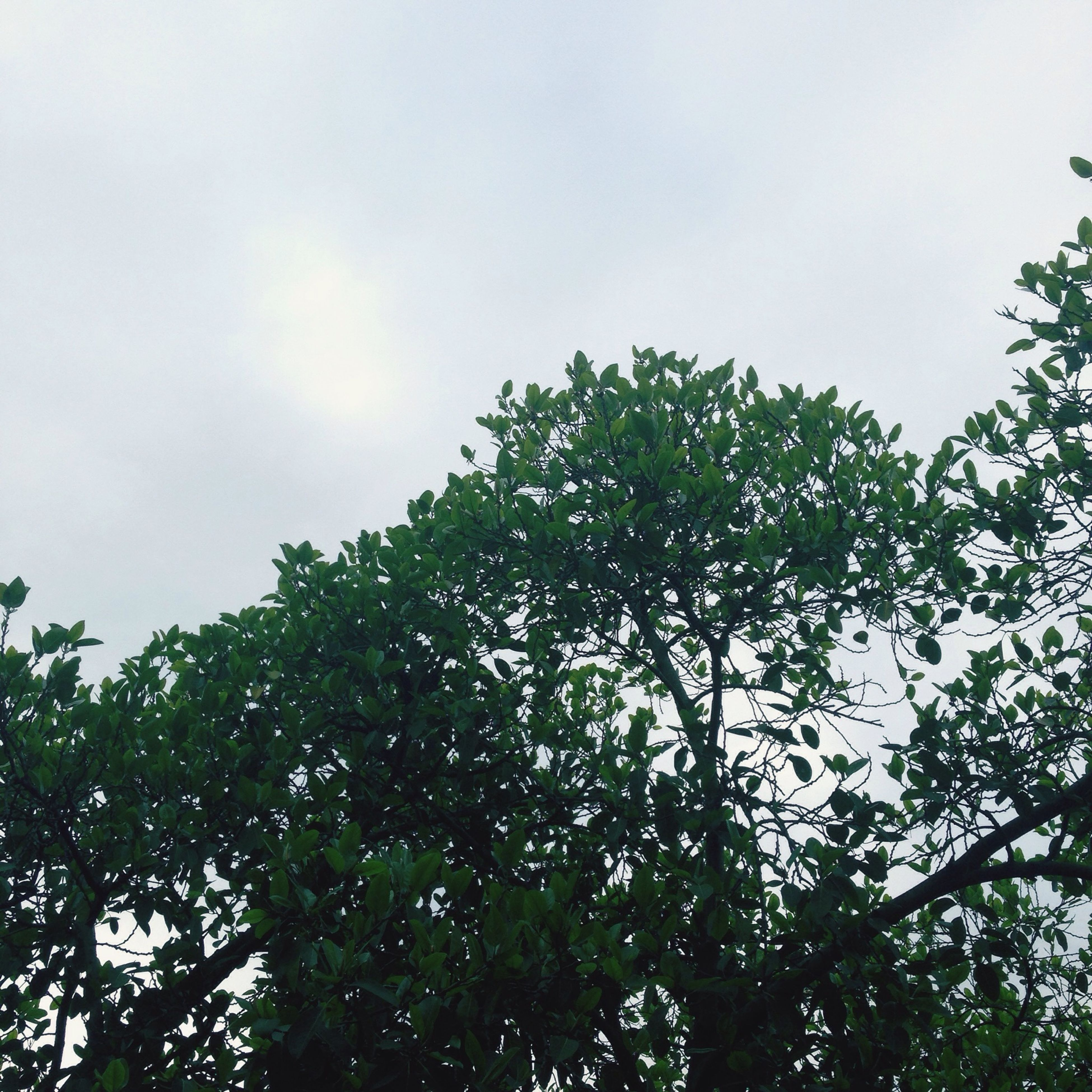 low angle view, tree, growth, sky, branch, nature, beauty in nature, tranquility, high section, green color, treetop, leaf, clear sky, day, outdoors, no people, scenics, lush foliage, tranquil scene, cloud - sky