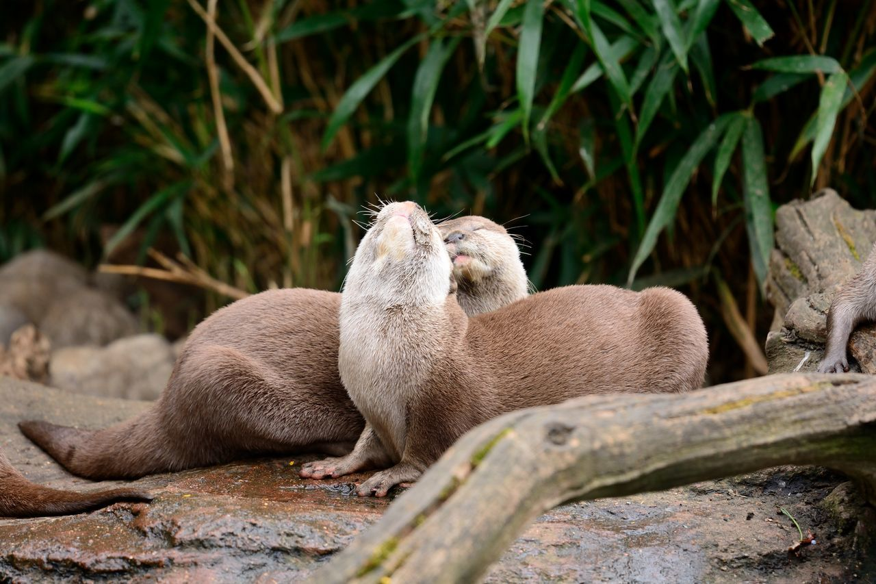 Affectionate Animal Themes Animal Wildlife Animals Animals In The Wild Animals In The Wild Beauty In Nature Check This Out Close-up Cuddling Cute Day EyeEm Best Shots EyeEm Nature Lover Nature Nature Photography Nature_collection Naturelovers No People Otters Outdoors Taking Photos Togetherness Two Animals Wildlife