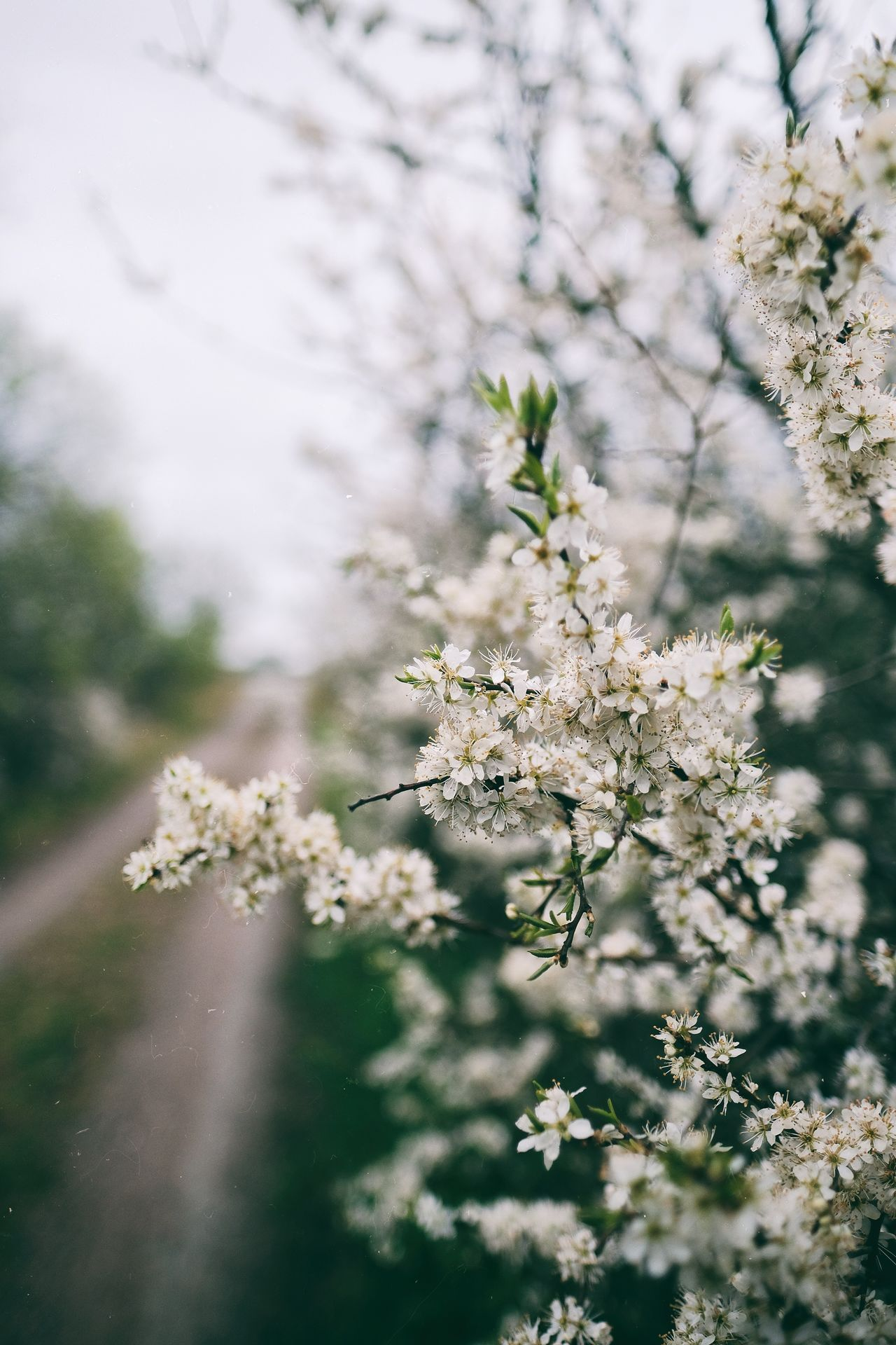 Vintage feeling Blossom White Color Beauty In Nature Nature Freshness Taking Photos Enjoying Life Eyeem Sweden X-Shooter Sotenäs Kungshamn Fujifilm X-t2 XF16mmF1.4 Sweden FUJIFILM X-T2 Sverigebilder Svensk Natur EyeEm Best Shots Vintage Feeling Sverige Dof Naturelovers EyeEm Best Shots - Nature EyeEm Nature Lover