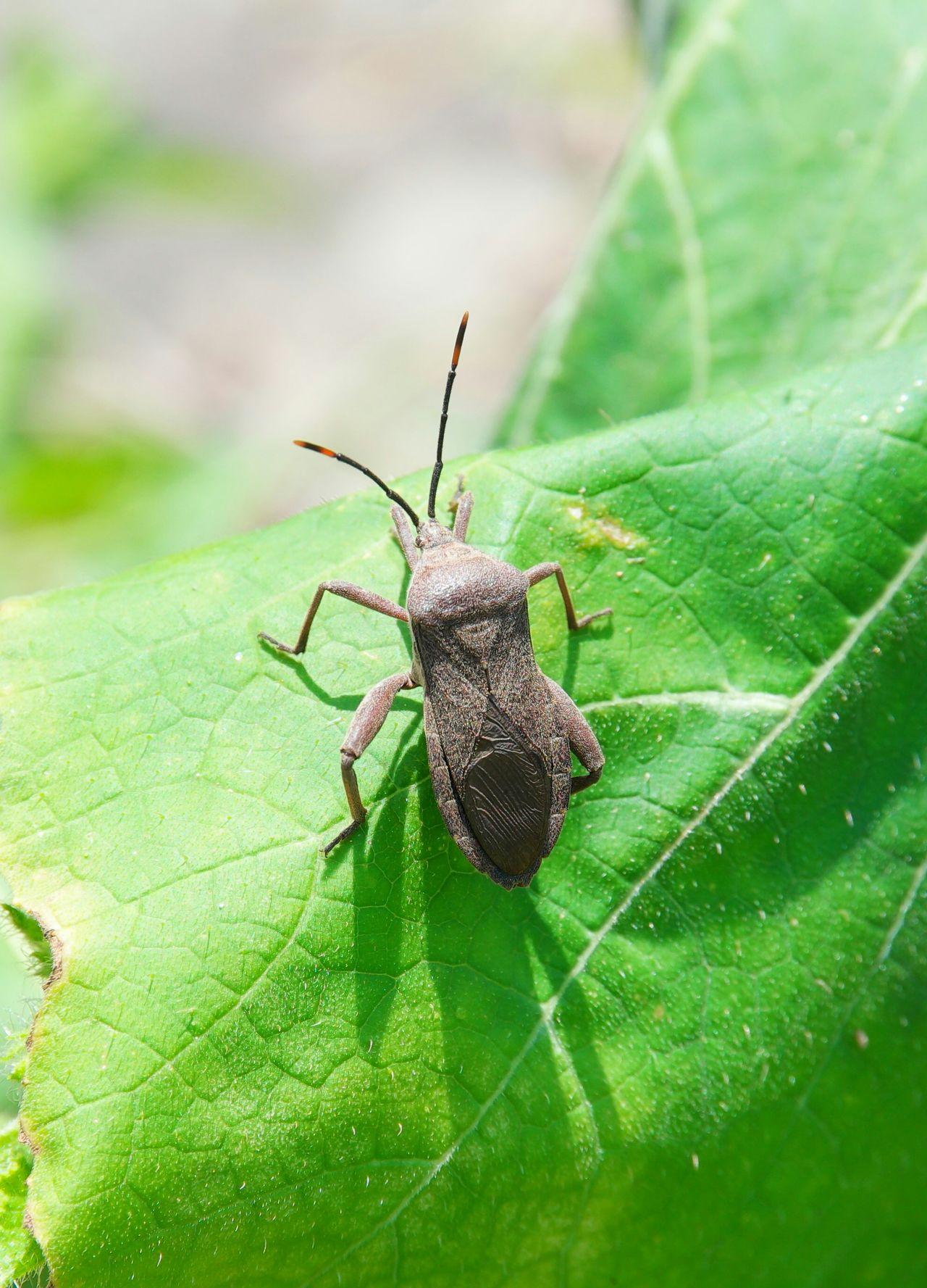 Stinkbug Stink Bug