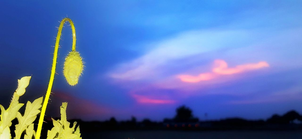 growth, nature, plant, beauty in nature, sky, outdoors, no people, sunset, close-up, fragility, day