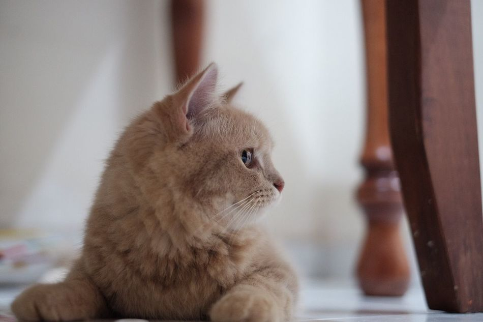 Kucing (cat) Domestic Cat Pets Domestic Animals Animal Themes One Animal Mammal Feline Indoors  Home Interior Cat Focus On Foreground Sitting Whisker No People Close-up Ginger Cat Kitten Day Persian Cat