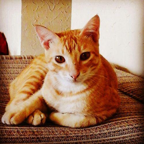 Asian Cat Cat Pose Gwapito Love Cat