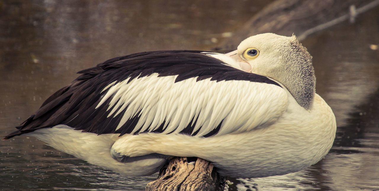 Pelican using the smallest of perches for a nap Animal Head  Animal Themes Avian Beautiful Birds Beauty In Nature Bird Close-up EyeEm Birds Eyeem Nature Feather  Nature Outdoors Pelican Perched On Branch Perching Bird Showcase April Sleeping Bird Sleeping Pelican Telephoto Wildlife