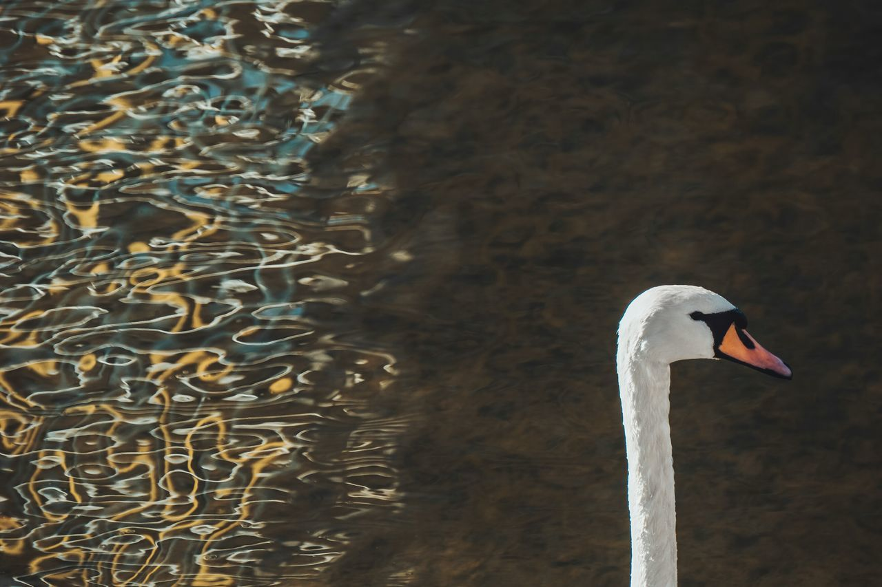 Swan Animals In The Wild Animal Themes One Animal Lake Day Outdoors Water No People Nature Close-up Beauty In Nature Swimming Reflection Abstract