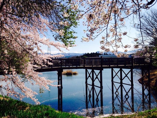 Iphone only Sakura Sakura2016 Cherry Blossoms Reflection Reflection_collection Water Pond Spring 桜 牛池