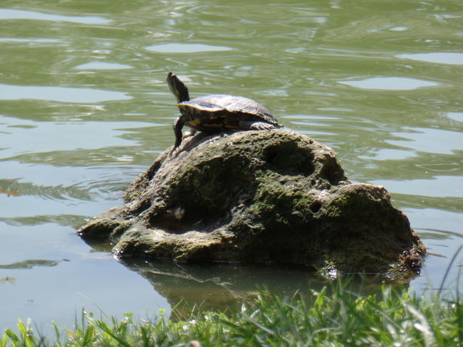 CarmenVazquezPhotography MyPics Naturelovers Turtle Love Turtle 🐢 Naturephotography Naturephotography Florida Eye4photography  Ocala Florida Natural Beauty Awesome Macro Beauty Nature Photography Water Rock Turtle On A Rock Checkthis Out Mypic