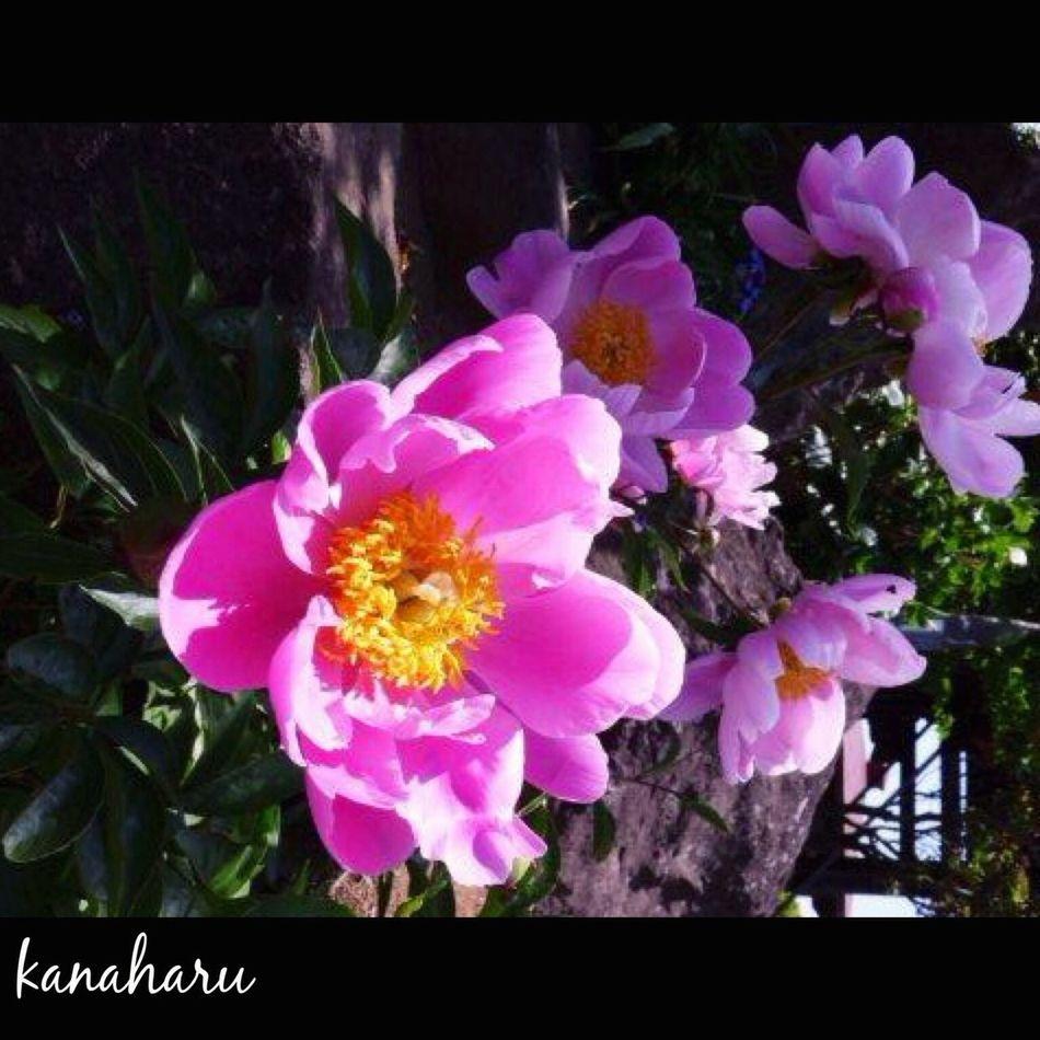 花 シャクヤク Flower Flowers Flowerporn Flower Collection Spring Flowers Flower Porn Flowers,Plants & Garden EyeEm Flower