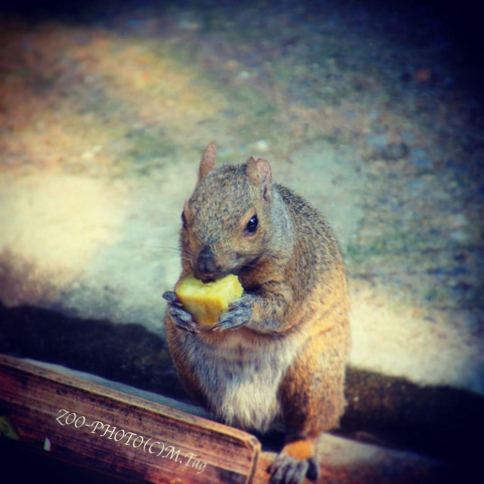 ZOO-PHOTO Zoo Animals 江戸川区自然動物園 ハイイロリス サツマイモの美味しい季節になりました