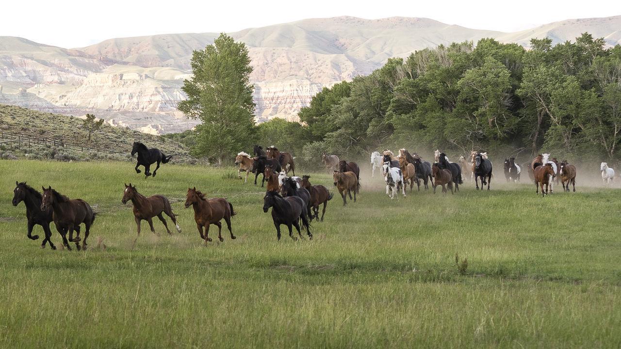 Horses Herd Running On Meadow Field