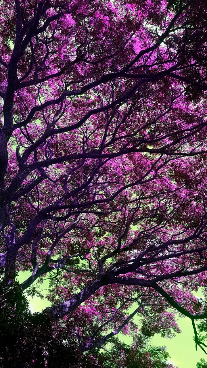 tree, blossom, low angle view, flower, springtime, beauty in nature, growth, branch, nature, botany, pink color, freshness, no people, fragility, tranquility, backgrounds, scenics, outdoors, day, sky, close-up