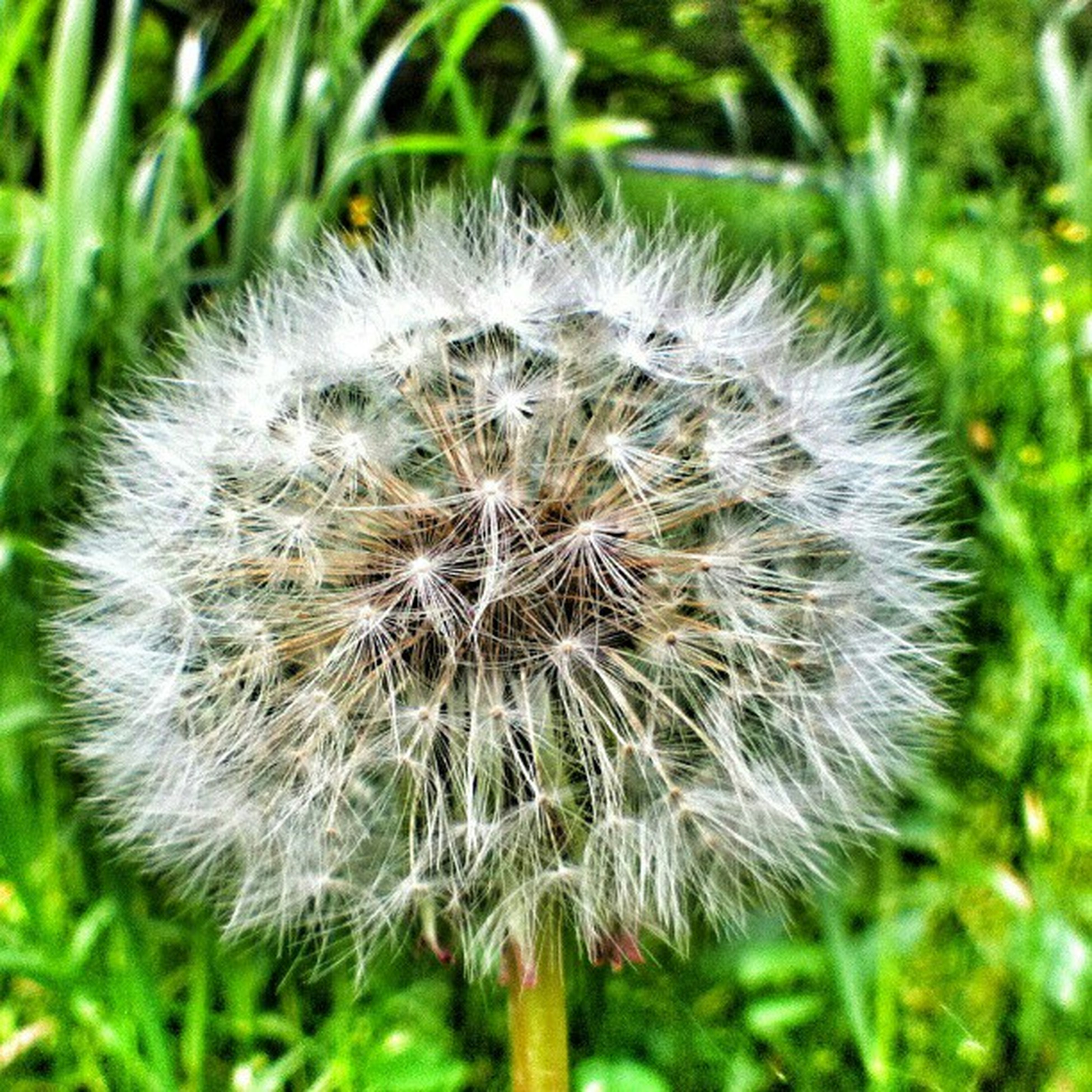 dandelion, flower, growth, fragility, freshness, close-up, flower head, nature, softness, focus on foreground, beauty in nature, uncultivated, single flower, wildflower, dandelion seed, white color, seed, plant, stem, day