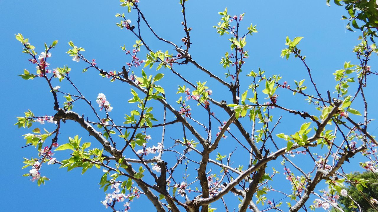 Nature, I love you. Spring, please stay at home 😉 Branch Blue Sky Beauty In Nature Color Of Life Life Is Beautiful Simple Things Beauty In Nature My Planet Is Beautiful Miracle Of Life Clear Sky Plant Nature Apricot Tree Apricot Blossom Flowers