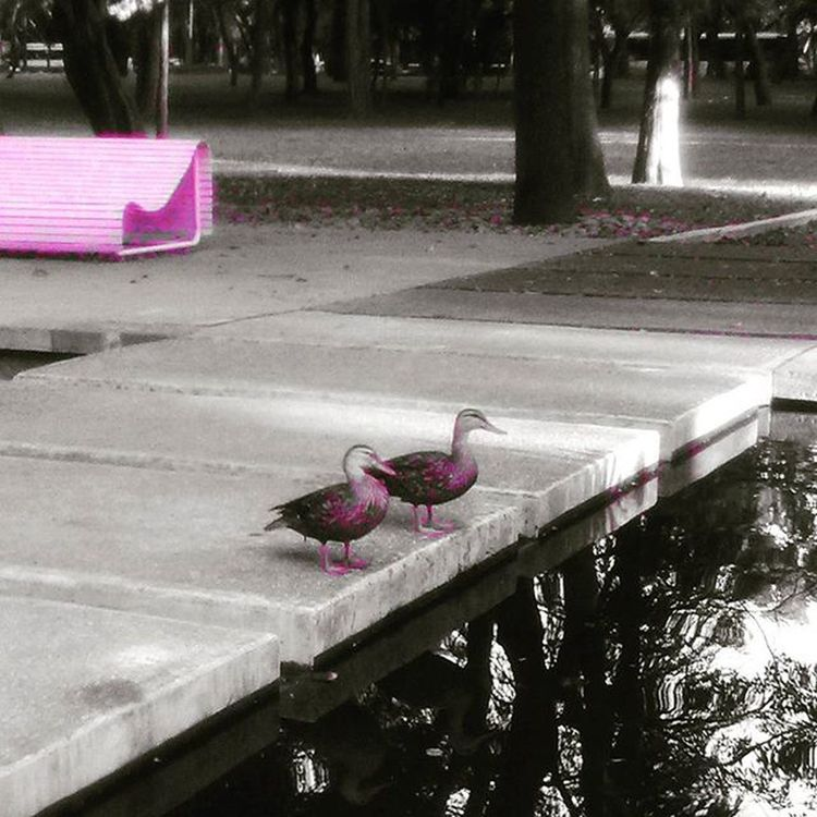 Sr. Y Sra. Pato 🐧 Ducks Patitos Photography Naturaleza