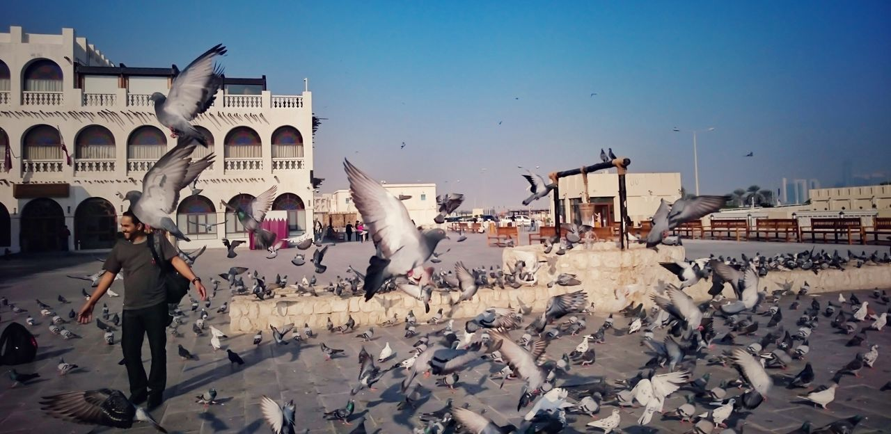 Adapted To The City Men Adult Day Pigeons Pigeon Bird  Pigeons Everywhere Birds Eyeem Philippines Flocks Of Birds Souk Waqif Doha Qatar Park