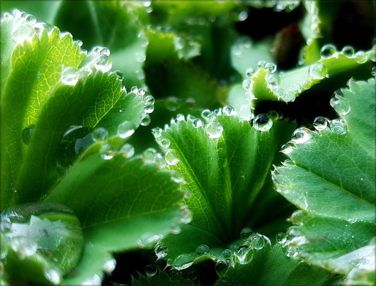 Alchemilla Monticola Beauty In Nature Bud Close-up Drop Flower Focus On Foreground Fragility Freshness Garden Photography Green Green Color Growing Growth Leaf Leaf Vein Nature No People Plant Selective Focus Urban Spring Fever Water Wet