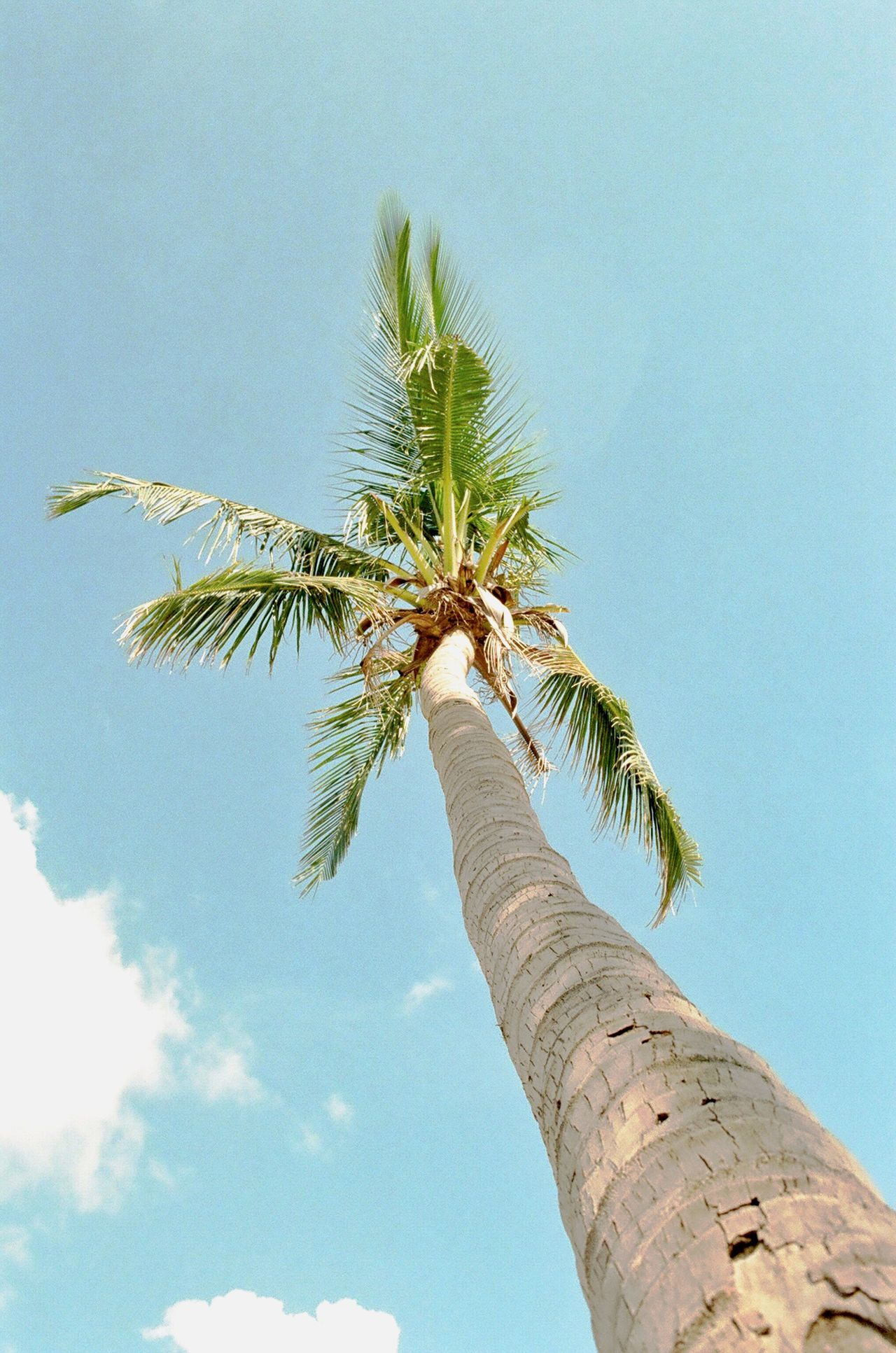 Film Photography Analogue Photography Vietnam Danang Mykhebeach Palm Tree Low Angle View Tree Nature Growth Sky Green Color Day No People Outdoors Clear Sky Beauty In Nature Close-up
