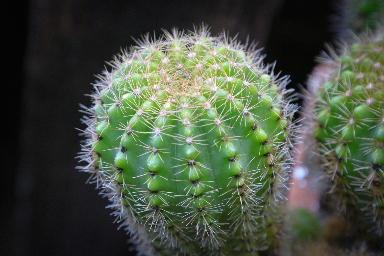 Growth Plant Nature Green Color Sharp Thorn Close-up Cactus Focus On Foreground No People Beauty In Nature Outdoors Spiky Day
