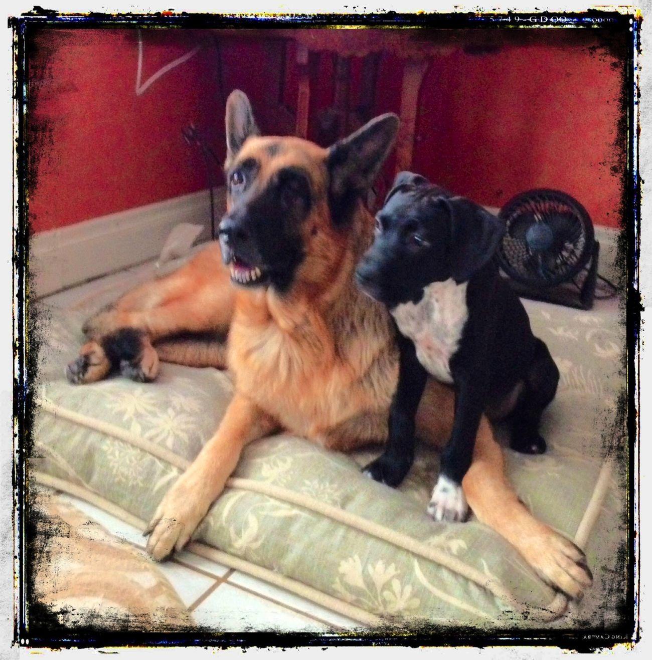 Stella and her new friend Ziggy.. GSD Friends Canine Love :) Dog Love