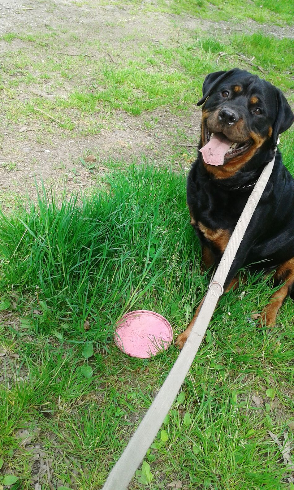 Beautiful stock photos of rottweiler, Animal Themes, Black Color, Day, Dog